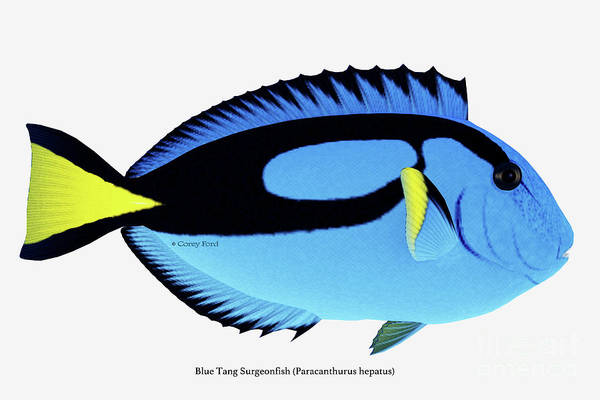 Regal Digital Art - Blue Tang Fish by Corey Ford