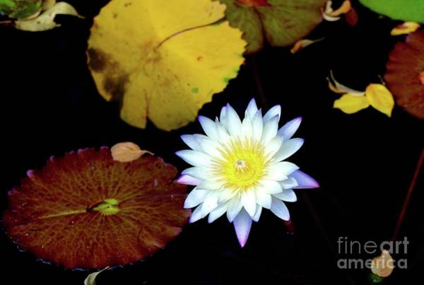 Wall Art - Photograph - Blue Tipped Water Lily by Gregory E Dean