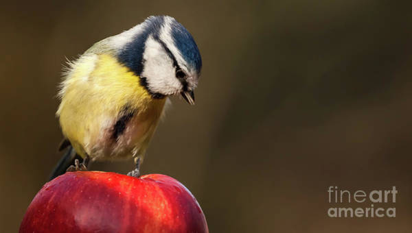 Wall Art - Photograph - Blue Tit Cyanistes Caeruleus Sat On A Red Apple Looking Down by Simon Bratt Photography LRPS