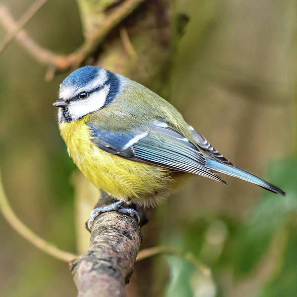 Photograph - Blue Tit by Nick Bywater