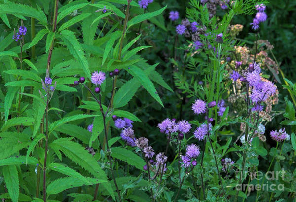 Photograph - Blue - Violet Wildflowers - Vervains And Thistles by Les Palenik