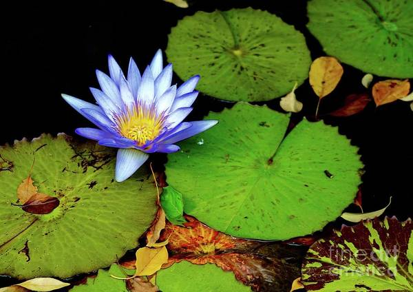 Wall Art - Photograph - Blue Water Lily by Gregory E Dean
