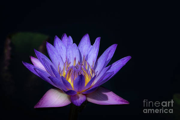 Photograph - Blue Water Lily by Andrea Silies