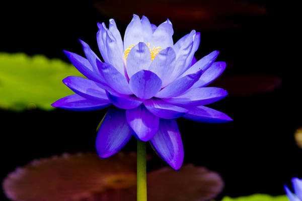 Photograph - Blue Water Lily by Louis Dallara