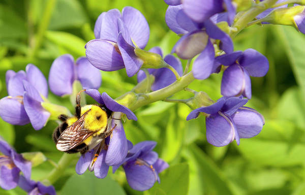 Blue False Indigo Wall Art - Photograph - Blue Wild Indigo And Bee by Dawn Braun