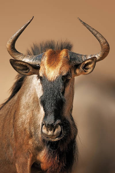 Wall Art - Photograph - Blue Wildebeest Portrait by Johan Swanepoel