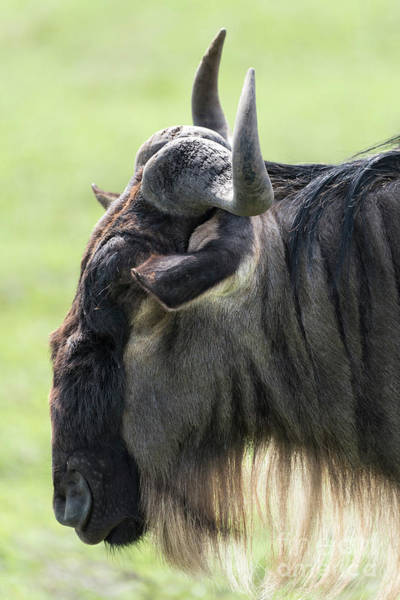 Photograph - Blue Wildebeest Side Face by RicardMN Photography