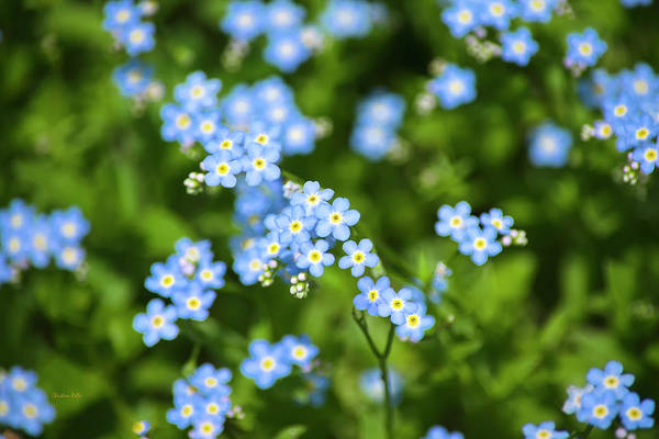Photograph - Blue Wildflowers Forget Me Nots by Christina Rollo