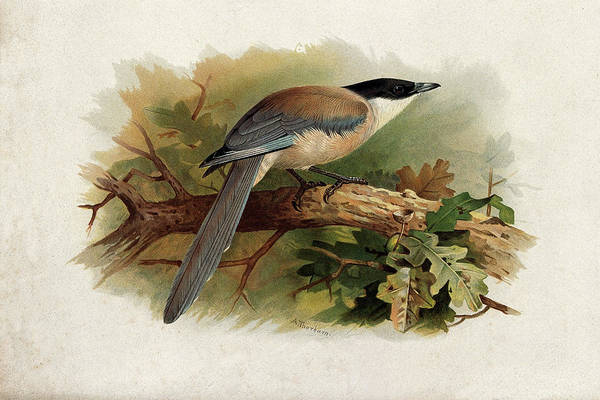 Mixed Media - Blue Winged Magpie By Thorburn by Archibald Thorburn
