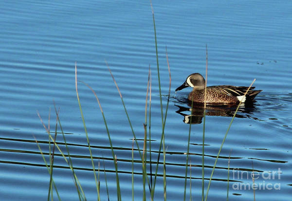 Photograph - Blue Winged Teal by Ann E Robson
