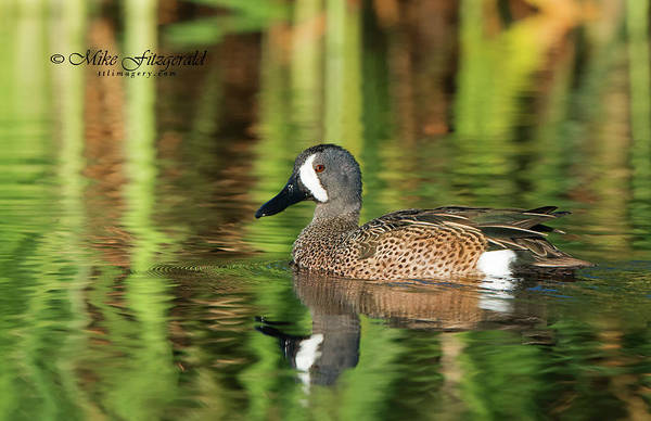 Photograph - Blue-winged Teal by Mike Fitzgerald