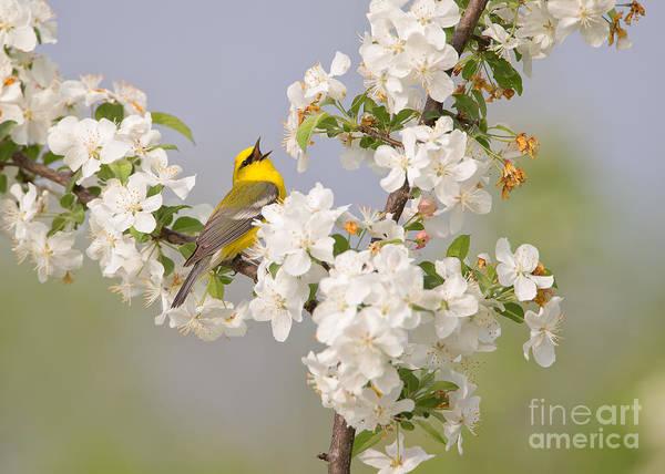 Joshua Clark Photograph - Blue-winged Warbler by Joshua Clark