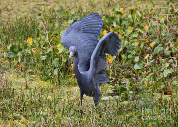 Little Blue Heron Photograph - Blue Wings And Green Pond by Carol Groenen