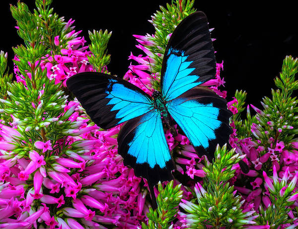 Butterfly Bush Wall Art - Photograph - Blue Wings On Pink Flowers by Garry Gay