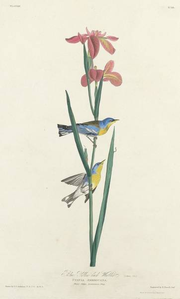 Wing Back Wall Art - Drawing - Blue Yellow-backed Warbler by Dreyer Wildlife Print Collections