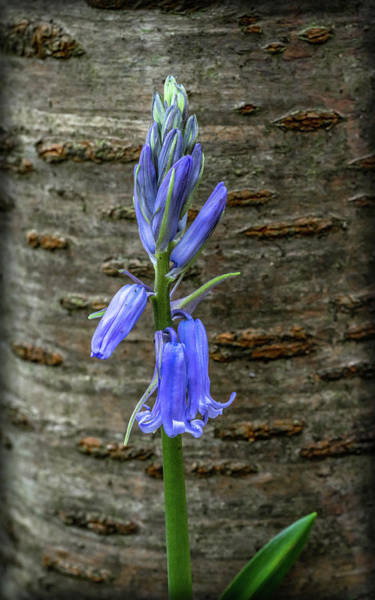 Photograph - Bluebell Bark by Framing Places