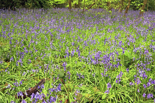 Photograph - Bluebell Carpet by Tony Murtagh