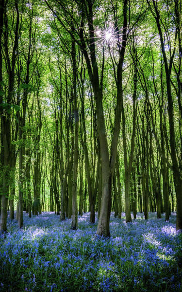 Photograph - Bluebell Forest by Framing Places