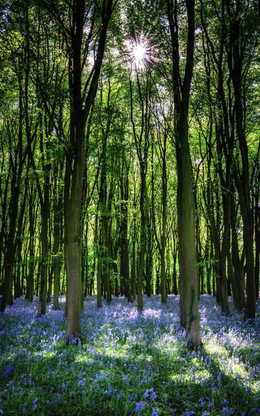 Photograph - Bluebell Forest With Sunrays by Framing Places