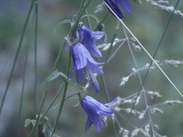 Photograph - Bluebell Meadow by Barbara St Jean