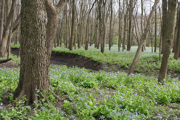 Photograph - Bluebell Meander by Dylan Punke