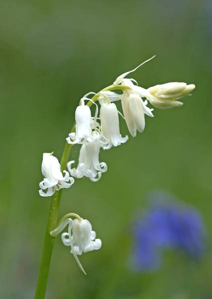 Photograph - Bluebell Of A Different Colour by David Birchall