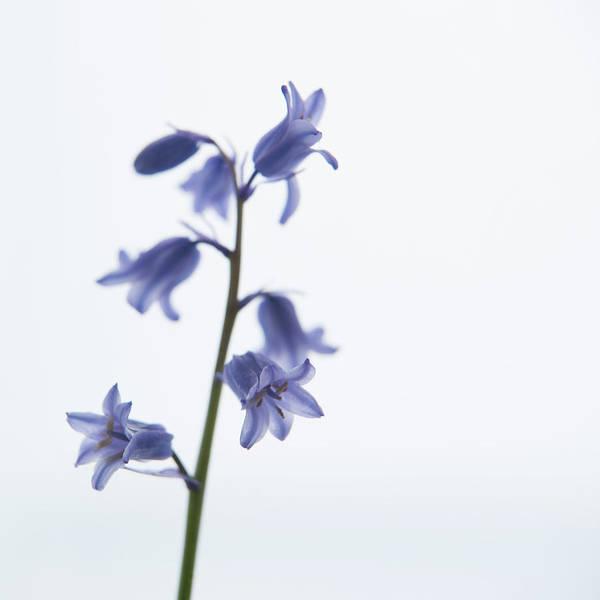 Photograph - Bluebell Stem Iv by Helen Northcott