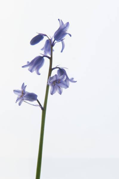 Photograph - Bluebell Stem Vii by Helen Northcott