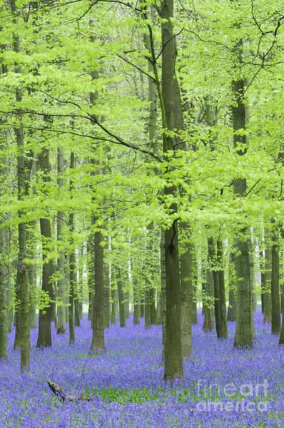 Wall Art - Photograph - Bluebell Wood by Liz Pinchen