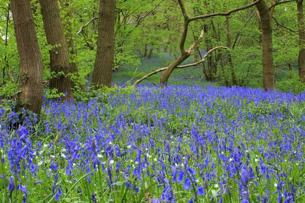 Photograph - Bluebell Wood by David Birchall