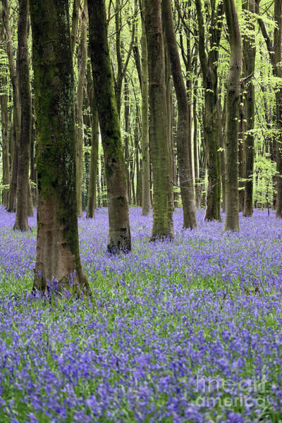 Photograph - Bluebell Wood England by Julia Gavin