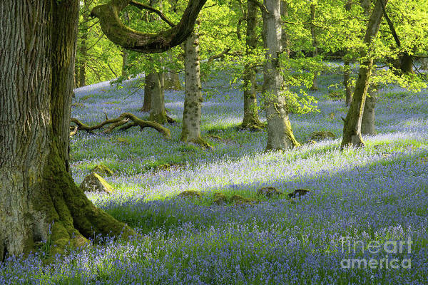 Haweswater Wall Art - Photograph - Bluebell Wood by Tom Broadhurst