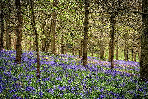 Photograph - Bluebell Woodland by Framing Places