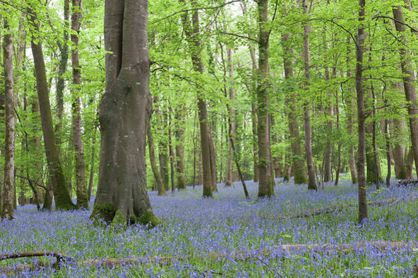 Photograph - Bluebell Woods Iv by Helen Northcott