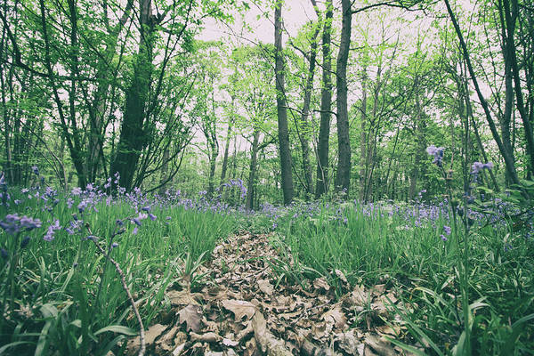English Countryside Photograph - Bluebell Woods by Martin Newman