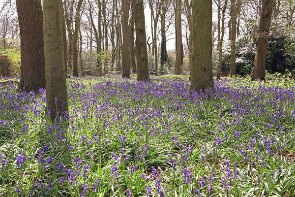 Photograph - Bluebell Woods by Tony Murtagh