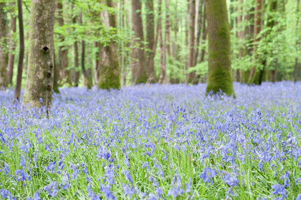 Photograph - Bluebell Woods Vii by Helen Northcott