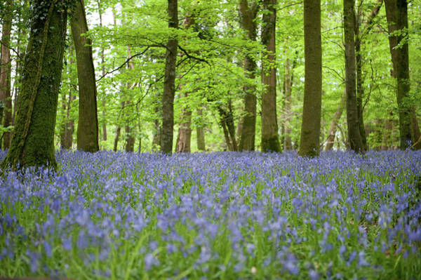 Photograph - Bluebell Woods Xii by Helen Northcott