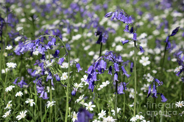 Photograph - Bluebells And Stitchwort by Julia Gavin