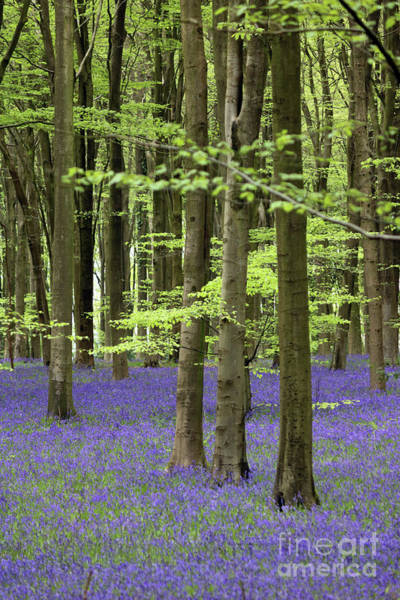Photograph - Bluebells At Micheldever Wood1 by Julia Gavin