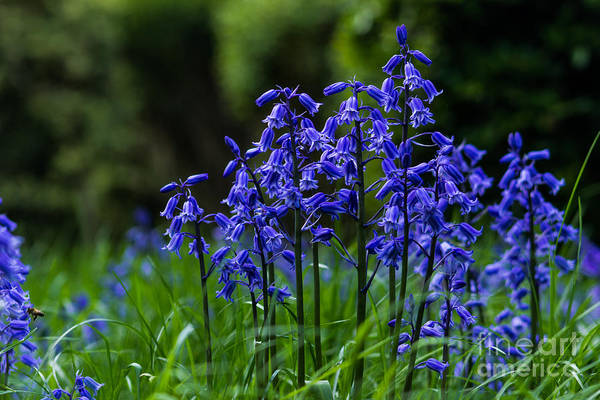 Photograph - Bluebells by Fabrizio Malisan