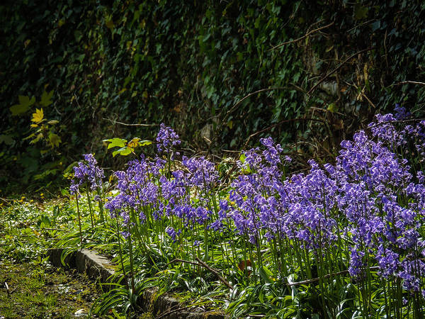 Photograph - Bluebells In Kilrush Town by James Truett