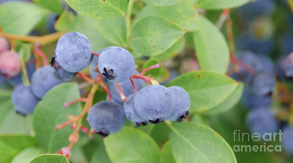 Photograph - Blueberries 2 by Andrea Anderegg