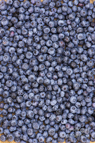 Blue Berry Photograph - Blueberry Harvest by Tim Gainey