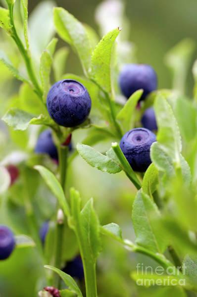 Bilberry Photograph - Blueberry Shrubs by Michal Boubin