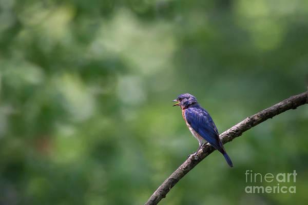 Photograph - Bluebird by Andrea Silies
