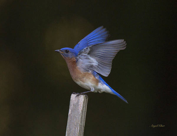 Photograph - Bluebird  by Angel Cher