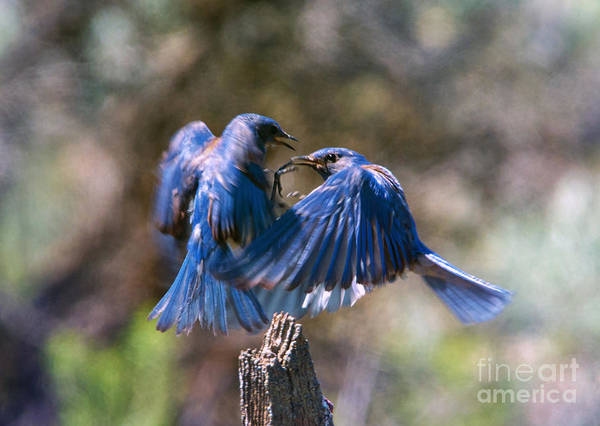 Hover Photograph - Bluebird Battle by Mike Dawson