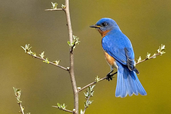 Photograph - Bluebird Bliss by William Jobes