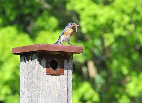 Photograph - Bluebird Breakfast by Allen Nice-Webb